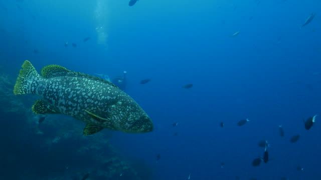 Giant grouper is closing to camara (4K->FHD) video