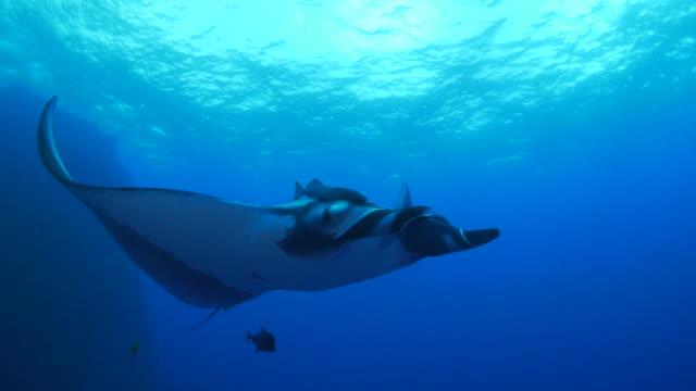 Giant Manta Ray video
