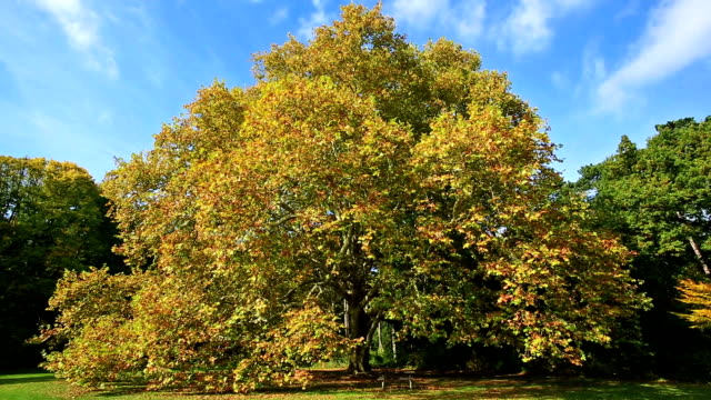 Giant maple tree in autumn video