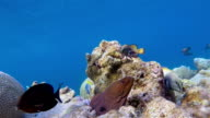 Giant moray eel on coral reef - Maldives video