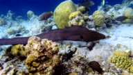 Giant moray eel swimming on coral reef - Maldives video
