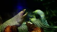 Giant Moray Eel video