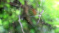 Giant Nephila spider prey on insects. video