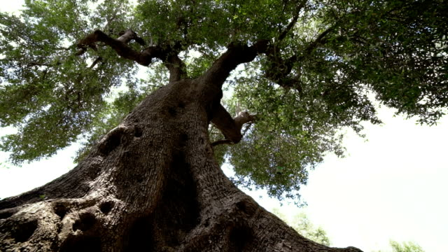 Giant olive tree video