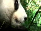 Giant Panda Eating video