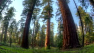 Giant Sequoia Forrest video