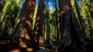 Giant Sequoia Trees video