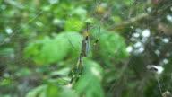 Giant Spider in Huge spider-net video