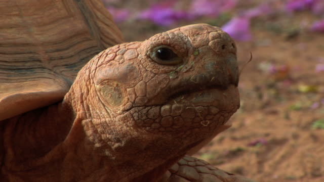 giant tortoise 3 video