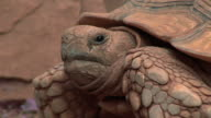 giant tortoise video