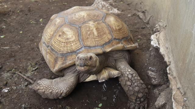 giant tortoise. video