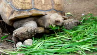 Giant Turtle Eating Fresh Grass video