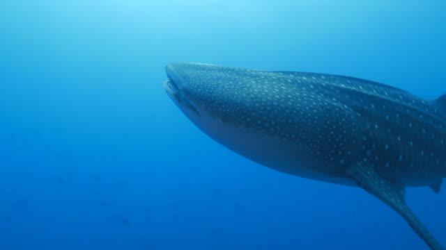 Giant Whale Shark is closing to camara (4K->FHD) video