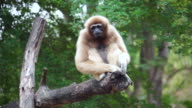 Gibbon scratch on tree - stock video video