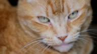 ginger domestic cat video