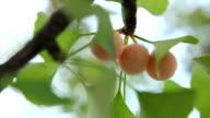 ginkgo fruit video