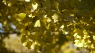 Ginkgo leaves in early autumn video