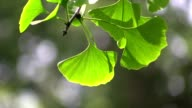 Ginkgo leaves in forest in the sunlight video