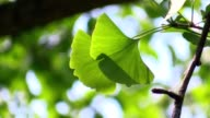 Ginkgo leaves in the forest in sunlight video