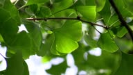 Ginkgo leaves in the forest video