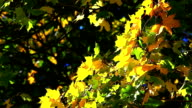 ginkgo tree branch in autumn video