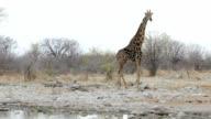Giraffa camelopardalis drinking from waterhole in Etosha national Park video