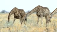 Giraffa camelopardalis grazing Etosha national Park, Ombika, Kunene, Namibia, true wildlife video
