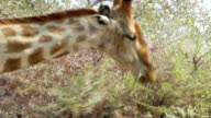 Giraffa camelopardalis grazing on tree video