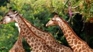 Giraffe Camelopardalis ruminate ,Close-Up. video