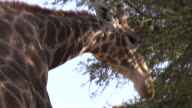 Giraffe Close up video