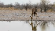 Giraffe drinking on waterhole, Namibia, Africa wildlife video