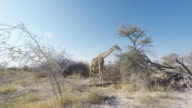Giraffe eating from Acacia tree in the famous Etosha National Park, the main travel destination in Namibia, Africa. video