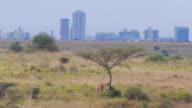 Giraffe eating tree leaves in front of big city Nairobi video