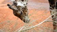 Giraffe eating video