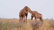 Giraffe grazing, Namibia, Africa wildlife video