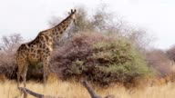 Giraffe grazing on tree, Namibia, Africa wildlife video