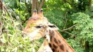 Giraffe head video