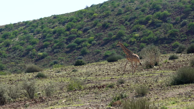 Giraffe herd in the wild. video