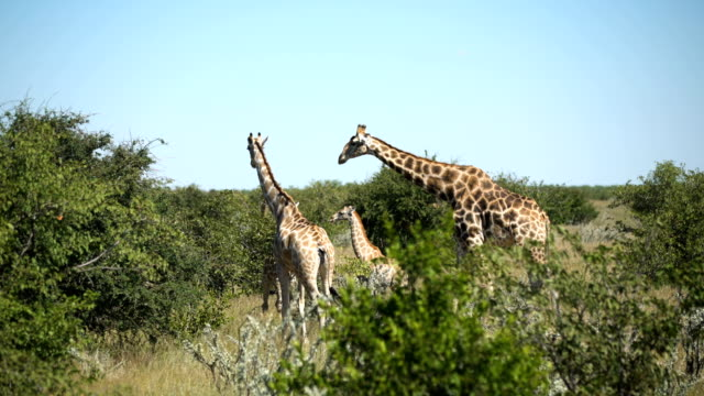 Giraffe herd in the wild video