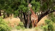 Giraffe in Masai Mara video