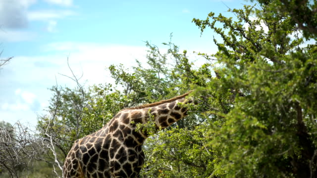 Giraffe in the wild video