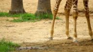 giraffe leg walking pass dry land video
