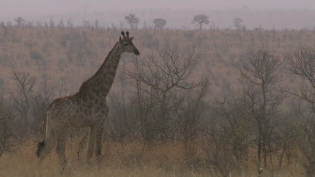 Giraffe looking. HQ 4:2:2. video