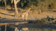 Giraffe near a waterhole at sunset. Wildlife Safari in Mapungubwe National Park, travel destination in South Africa. video