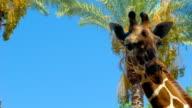 Giraffe on sky and palms background video
