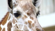 giraffe portrait head and eye looking camera video