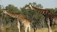 Giraffe sexual behaviour video