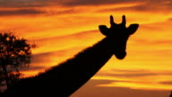 Giraffe silhouetted against golden sunset sky video