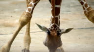 giraffe sit down hand move head and long neck to eat grass on ground video