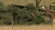 Giraffe walking in Serengeti video